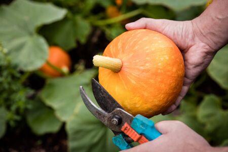 urban gardening: hokkaido pumpkin is harvested on balcony, concept urban gardening