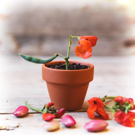 garden bean: garden bean blossom in a plant pot, red beans on the ground