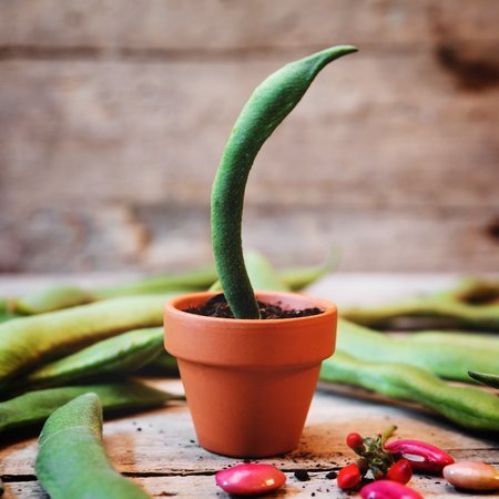 field bean in a plant pot, wooden background