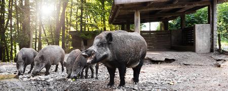 animales silvestres: panorama con jabalíes salvajes en su revolcarse, comer manzanas