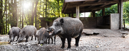 panorama with wild boars in their wallow, eating apples