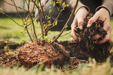 female gardener planting a blueberry bush, bark mulch in the hand
