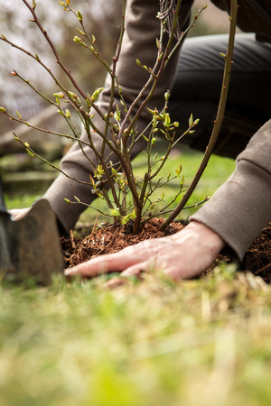 female gardener is planting a blueberry bush, landscaping and garden work Stock Photo