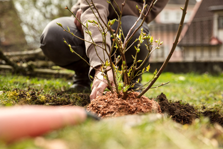 woman is planting a bush in the own garden, gardening hobby