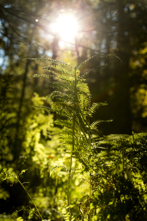 trees and fern with sunshine in a area of the black forest in Germany
