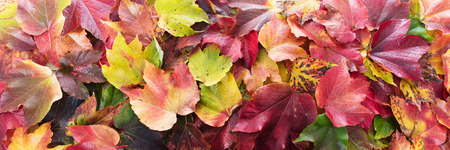 colorful autumn foliage panorama, topview on a lot of leaves