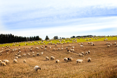 big herd of sheeps and goats grazing on a field, blue sky
