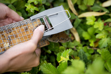 woman discage a mouse in a live capture mousetrap to the garden, animal welfare and freedom Stock Photo