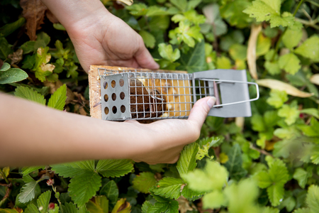 woman discage a mouse in a live capture mousetrap to the garden, animal welfare Stock Photo