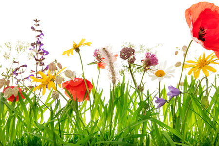 Closeup, wildflower meadow with poppies, arnica montana, clover and margerite, white background