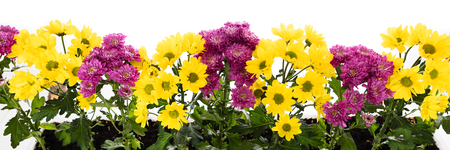 panorama with yellow and purple chrysanthemums in front of white background Stock Photo