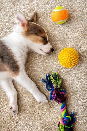 Flatlay, cute sleeping patchy Puppy and different Dog toys on a brown carpet 版權商用圖片