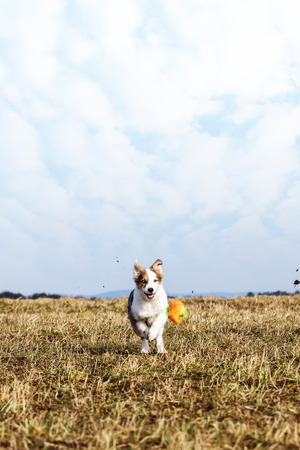 puppy dog is playing with dog toy on a meadow, blue sky with clouds in the background