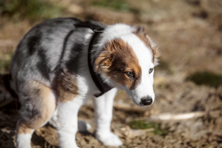 Defecation of a puppy dog, cute mixed-breed whelp is house-trained Stock Photo