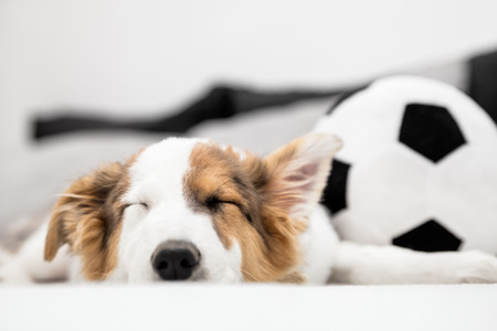 Puppy dog falls asleep exhausted on bed, football or soccer ball in the background, copyspace