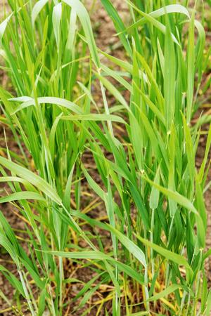 garden or weadow with young spelta, vertical shot Stockfoto
