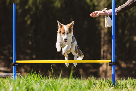 Dog Agility training with a cute puppy dog on the meadow, Hurdles and obstacle