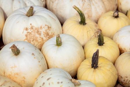 Lots of big flat white boer pumpkins, cucurbita maxima background