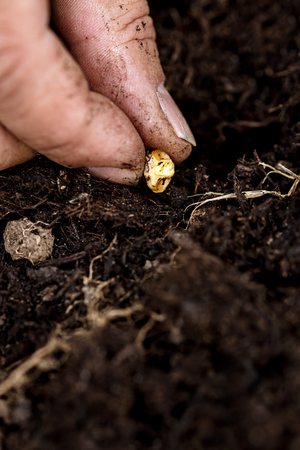 Closeup, Hand with a corn kernel of sweetcorn planting in the soil, growing of a maize kernel 写真素材