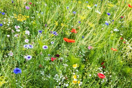 Beau jardin de fleurs sauvages en fleurs, plantes mellifères pour abeilles et autres insectes