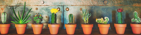 Panorama, various sorts of cactus plants in a row, metallic background, home decoration trend 免版税图像