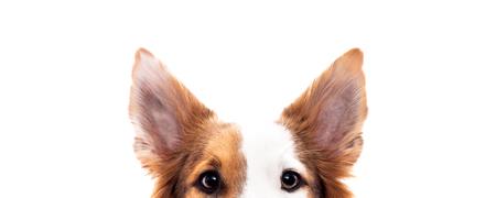 Panorama, Hund versteckt sich, isoliert vor Weiß, Augen und Ohren