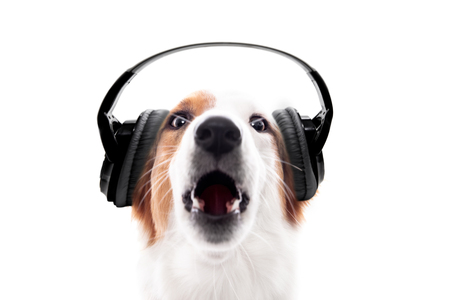 Dog wears headphones and barks or howls, isolated in front of white, concept music and audio