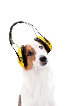 Dog wearing ear protection, isolated fin front of white, concept noise, noise protection and earmuffs