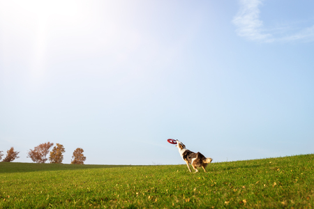 Hund fängt eine fliegende Scheibe oder Frisbee, Hundesport und Scheibenhundelehrling in der Natur Standard-Bild