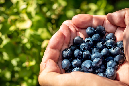 Hands holding fresh blueberries, shiny Vaccinium Corymbosum Plants in the back