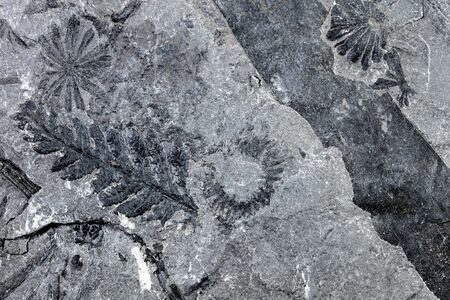 Closeup of petrified fern fossil, pattern background with details of flora and slate Stock Photo