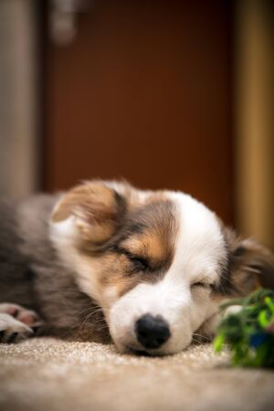 Cute Puppy Dog sleeping at home, mix-breed australian shepherd indoor, copyspace