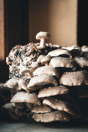 Aufzucht von Shiitake-Pilzen zu Hause Pilzzucht durch einen Bausatz mit Substratblock, Gourmet-Pilze Standard-Bild