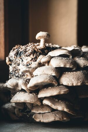 Growing up of shiitake mushrooms at home fungiculture by a kit with a substrate block, gourmet fungi