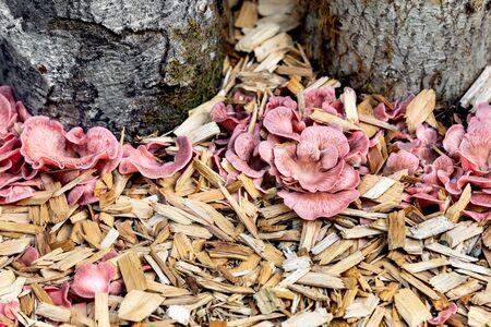 Details of a mushroom farm or fungiculture, growing up of Pleurotus djamor, gourmet fungi