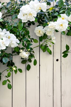 Wild roses on bright wooden fence background with copyspace, green and white