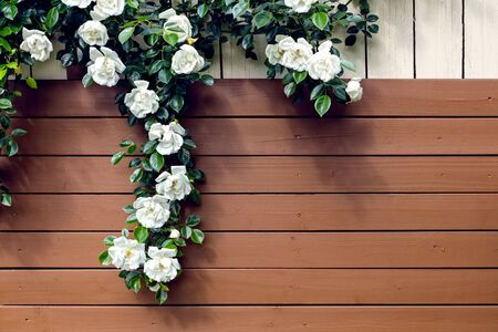 Wooden slats from a garden shed with wild white roses, romantic background with copyspace Standard-Bild