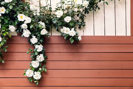 Wild roses climbing above a garden shed, romantic background with copyspace