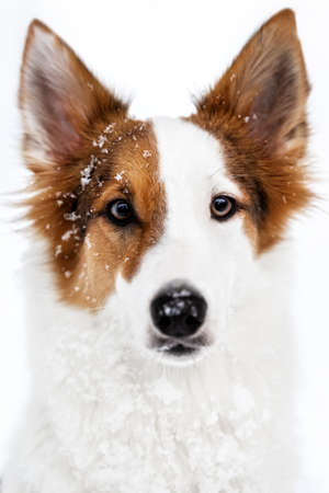Portrait of a spotted mixed breed dog with snow and ice crystals on the fur, white background