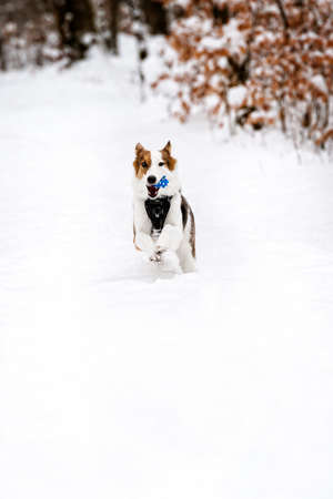 Cute spotted Dog with a ball running in the snow, walk at the winter season, copyspace