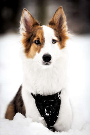 Portrait of a cute mixed breed dog lying in the snow, walk at winter season Stock fotó