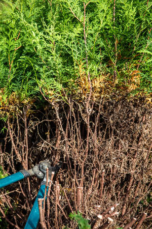 a thuja hedge is trimmed with garden scissors Stock fotó