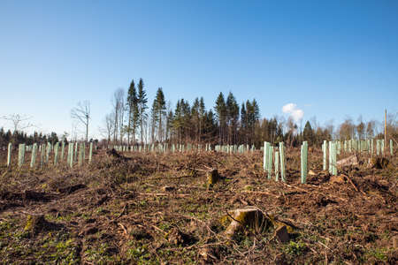 A lot of young trees in the forest with blue sky in the spring, concept reforestation, forestation and tree population during climate change Stock fotó