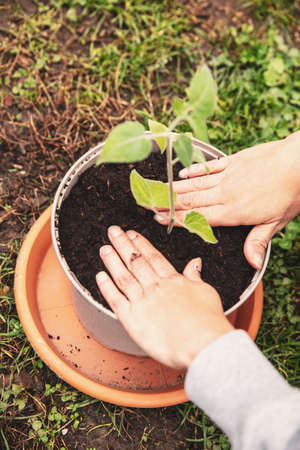 Planting and grafting into a plant pot, young offshoot physalis plant, femals hands