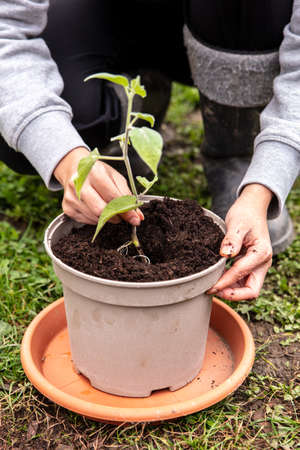 Young physalis plant grafting and planting into a pot plant with soil, gardener at work