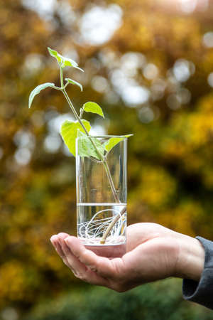 man holding offshoot or cutting from a physalis plant in a glass with water Stock fotó