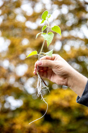 Offshoot or cutting plant, physalis peruviana with roots, man holding outdoor