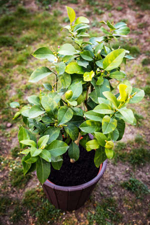 fresh repotted young lemon tree, standing on a meadow in the garden Stock fotó
