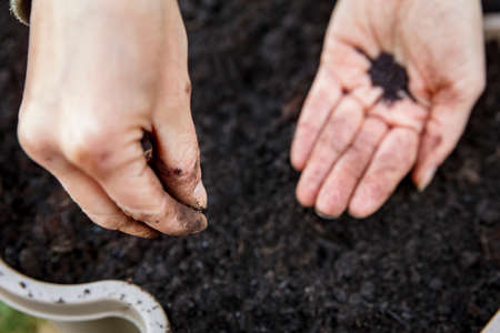 woman is holding and planting some basil seed in a plant pot full of fresh soil and compost Stock fotó