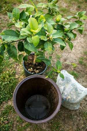 lemon tree will be repot in a bigger brown plant pot, a sack of draining gravel or grit